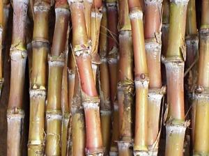 Raw Sugar Canes