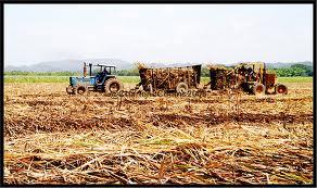 Harvesting Sugar Canes