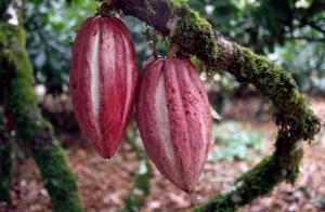 cacao-cocoa-fruit-1