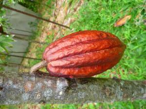 A cacao pod, resembling a human heart.