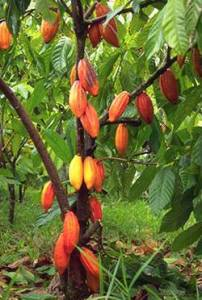 In this image you can see that the cacao pods are growing off the trunk of the tree, as opposed to growing off of a shoot. This is the phenomenon known as cauliflory.
