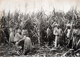 From this image of slaves working on a Jamaican sugar plantation, one can see the intense amount of toil and labor that would have had to go into cultivating sugar. This image also reflects the fact that women were expected to take part in the same intense labor as men.