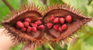 Achiote.  Image source: http://commons.wikimedia.org/wiki/File%3ABixa_orellana_fruit_open.jpg
