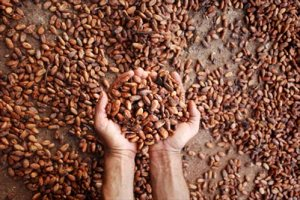 cacao in hands