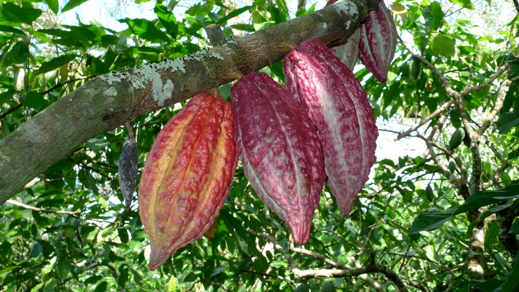 Cacao and Chocolate in Venezuela