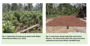 illegal cacao farms