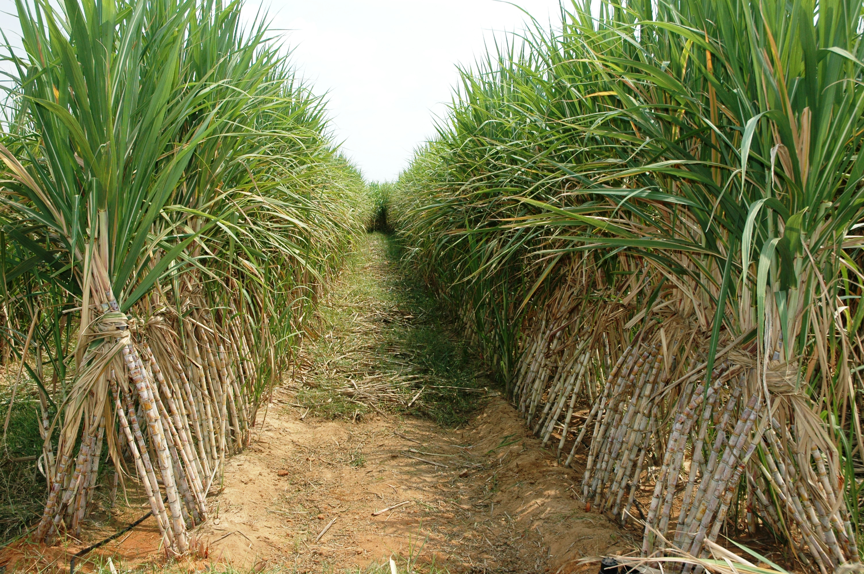 integration of smallholder farming into large scale sugar cane production in the tana delta, kenya Smallholder farming in kenya:  regulatory agencies of sugar cane production – food  before embarking on large-scale treatments of livestock.