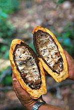 An opened cacao pod shows damage done by insects; a common trend in today's cacao production.