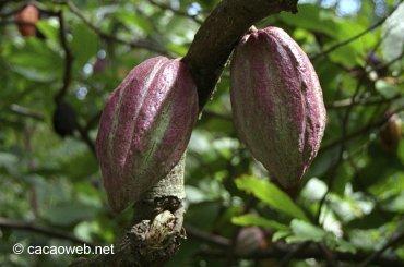 cacao002.jpg
