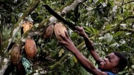 Child Harvesting Cacao