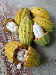 open-cacao-pods