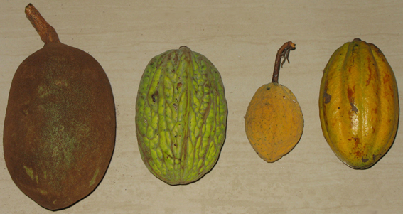 Theobroma_fruits