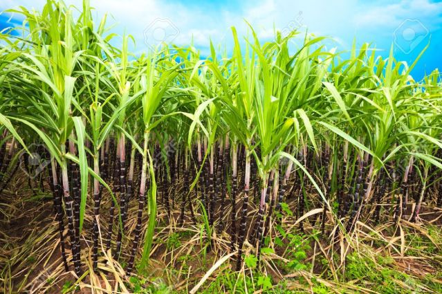 7302491-Sugar-cane-plantation-Khanh-Hoa-province-Vietnam-Stock-Photo-sugarcane