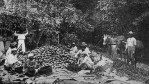 Cacao Harvest 1800s