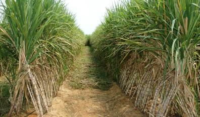 sugarcane-field-4204446_396x233