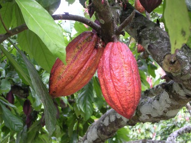 Cacao pods on tree - from http://prod.thestoryofchocolate.com/