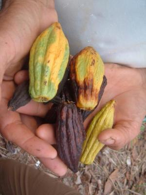 fumigation damage to cacao