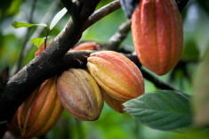 stock-photo-41689788-multiple-pods-on-cacao-tree