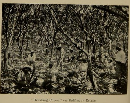 Vaquero_Breaking Cocoa_West Indies_1914