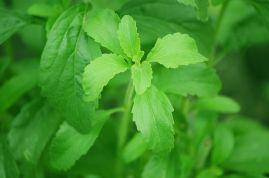 1280px-Stevia_plant.jpg