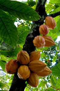 cacao pods sprouting directly from tree trunks (based on WikiMediaCommons, by Luisovalles, CC BY 3.0)