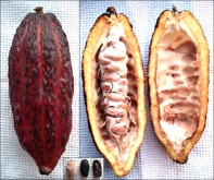 cacao seeds in pod, surrounded by a fruity, pulp placenta. (based on WikiMediaCommons, by Genet, CC-BY-3.0)