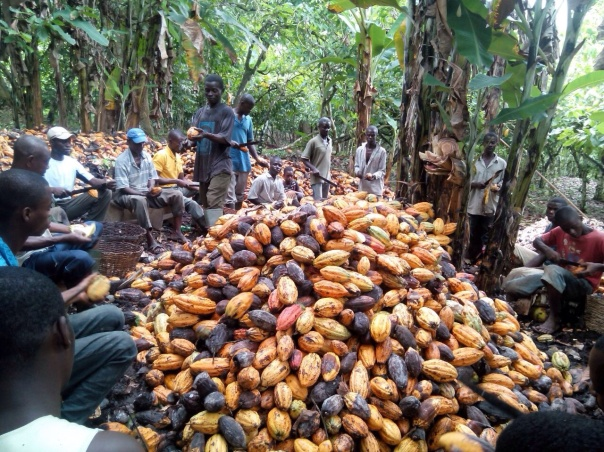 cocoa_farmers_during_harvest