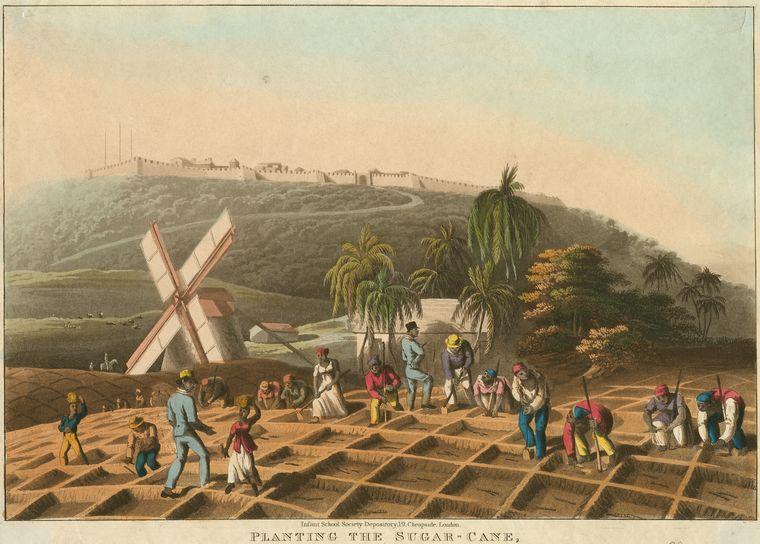 Planting the sugar cane