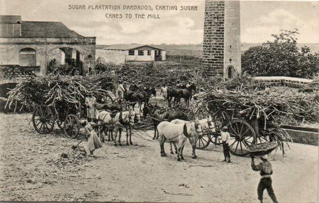 Sugar cane harvest post card